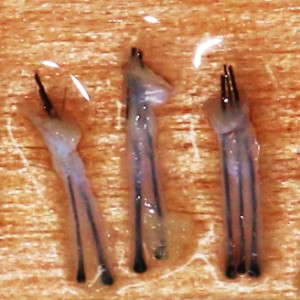 Follicles Harvested from Fuetor